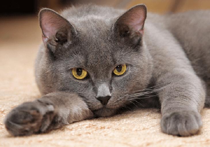 Britská modrá mačka krátkosrstá