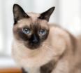 Najobľúbenejšie plemená mačiek - Mačička.sk 1db50db085a