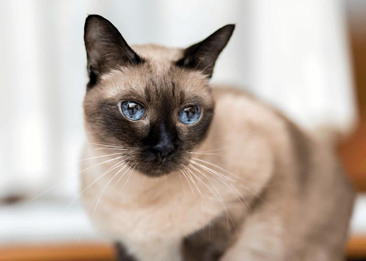 Siamská mačka - Mačička.sk c828cababca